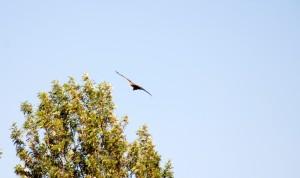 Adler in Debre Zeyit