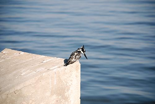Schwarz Weißer Vogel Lake Awassa