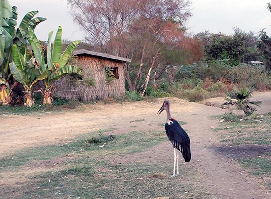 Maribu in Hawassa