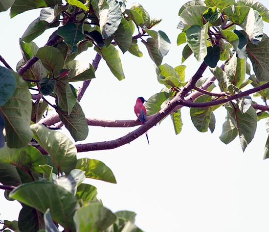 Bunter Vogel am Lake Hawassa