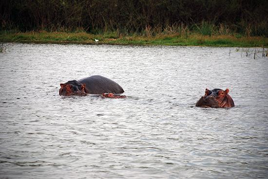 Hippos im Lake Hawassa